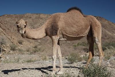 Kamel mit gefesselten Vorderläufen