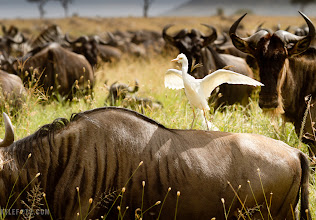 Photo: Egret and Wildebeest Serengeti, Tanzania, Africa See more at www.kylefoto.com  Out in the Serengeti we were hunting with our lenses, hoping to snap a view of something unique and special. Of course we got the basics under our wing: many photos of the beautiful white Egrets flying, and a whole whack of the wildebeest. On their own they can be interesting shots, but it's when I saw the white figure balancing on a wildebeest far ahead I knew I had to get an egret on top of a wildebeest. Once I knew what to look for I noticed it was happening everywhere, I just needed it to happen near me! Patience awards us with a few of the Egrets posing calmly on the back of the beasts. But as the photographic process always goes, you always try to outdo yourself. That's when I realized I could do even better with a photo of the Egret just landing on a wildebeest with their beautiful outstretched wings. This is where I tell myself it's time to sit back and observe the Egrets, watch from their body language so I can tell when one is about to take off, and one is about to land. I taught myself to pay attention to my peripheral vision so I could anticipate the landing vector of the Egret and have my camera ready on the right wildebeest for the landing shot. This is where you become a naturalist and not a photographer, you learn about the animal in a more intimate way and you can be where you need to be to get the better shot.  These heron and wildebeest have established a symbiotic relationship, the insects swarming around these odiferous beast are removed and the egrets get their fill of food!  Egrets aren't exclusive to feeding in wildebeest herds, they like to feed on small insects, frogs, and earthworms in most environments in the Serengeti. But once a herd of wildebeest comes along, the commotion and dust disturbs grasshoppers and other insects which makes for a great selection of meals. When the herds show up it's kind of like going to the grocery store when your favourite items are finally in season and everything is on sale and the store is ultra in stock! The Egrets can't help themselves when the savings are so stellar and it's so convenient, you just stand on the back of an animal and window shop with minimal effort!  Photographic Details: The Main setting I was worried about was the shutter speed, I wanted it fast enough to freeze the motion of the wings, if I wanted to be safer with the motion blur I would have used 1/1000th of a second for the shutter speed, but these Egrets were relatively slow and I got away with the slower shutter speed of 1/500th of a second.  I like how the wildebeest the egret is standing on is merely shown by the texture of his side, and the telltale horn on the bottom left corner. He's too busy to do anything else but keep eating, as if he's merely a structure for the Egret to stand on. The other wildebeest staring at the Egret helps complete this, photo, seemingly staring in disbelief and this sudden pairing of Egret and Ungulate. I wanted the background to fade out with the horizon still in the shot, expressing the impressive expanse of the Serengeti.  Canon EOS7D, 100-400mm L Lens, 1/500s f/7.1 ISO100 180mm