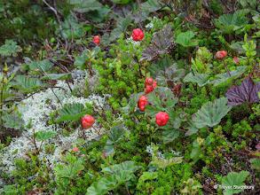 Photo: Cloudberry, Bennachie