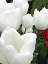 Photo: White tulips at Wegerzyn Gardens in Dayton, Ohio.