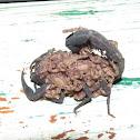 Black Tityus Scorpion