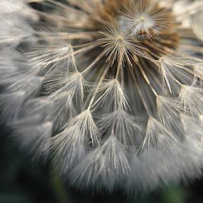 COEUR de PISSENLIT, FRANCE by Ramade Genevieve - Flowers Single Flower (  )