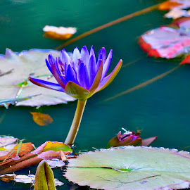 by Victoria Eversole - Flowers Flowers in the Wild ( lilly pad, waterscapes, southeastern adventures, purple flowers )