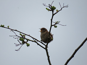 Photo: Priorslee Lake Another species I can count – the eye- and gape-colour of this Wren in full cry are well-seen. (Ed Wilson)