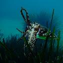 European common cuttlefish