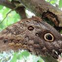 Illioneus Giant Owl Butterfly