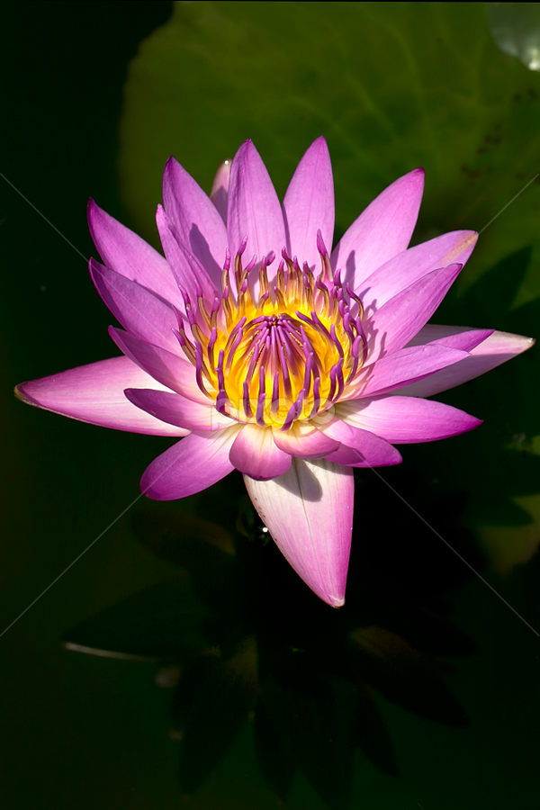 waterlily by Toni Panjaitan - Nature Up Close Flowers - 2011-2013 ( flowers, natural )