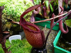 Photo: Nepenthes rajah