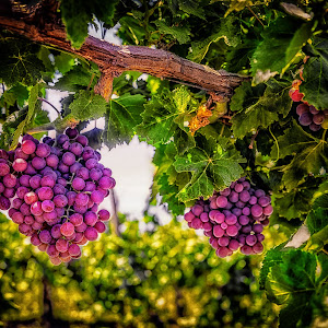 LS-GRAPES-3.jpg