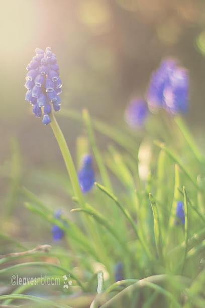 this is an image of a muscari blue flower in spring