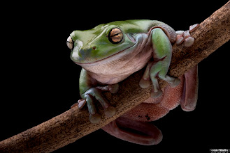 Photo: Green tree Frog at 1600px wide
