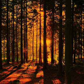 Autumn by Kevin Morris - Landscapes Forests ( autumn, trees, light, golden )