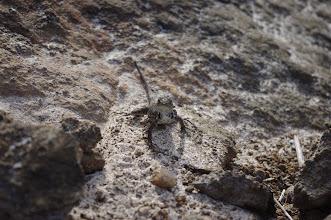 Photo: Lava Lizard