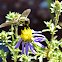 Unknown Bee Fly