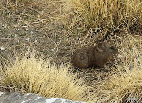 Found this Pika on top