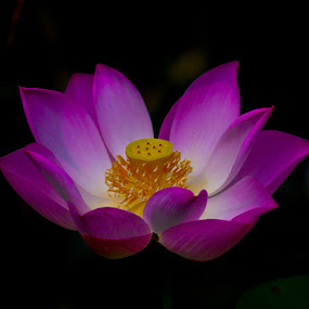 Lotus bloom by Johannes Dayrit - Nature Up Close Flowers - 2011-2013