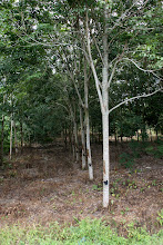 Photo: Year 2 Day 113 - Rubber Plantation