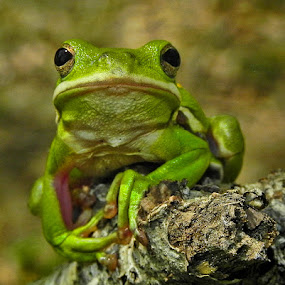 Green Treefrog by Lisa Powers - Animals Amphibians