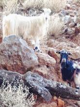 Photo: Goats of Crete