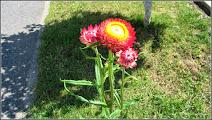 Photo: Florile de pai (Helicrisum) - de pe Str. Ioan Opris - (2014.07.05)
