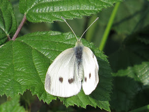 Photo: 17 Jul 13 Woodhouse Lane: For some reason I find separation between Small and Large White butterflies very hard. Males and females have different numbers of black spots which confuses. This, I think, is a female Large White, more from the size of the body than anything else. (Ed Wilson)