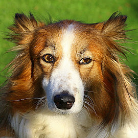 Ruby by Chrissie Barrow - Animals - Dogs Portraits ( long haired, pet, white, fur, ears, dog, nose, crossbreed, sheltie, tan, portrait, eyes )