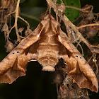 Sphingid moth