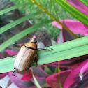 Escarabajo / Spotted Pelidnota