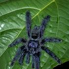 Purple Tree Tarantula