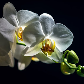 White on black by BO LED - Flowers Tree Blossoms ( nature, orchid, white, flowers, closeup, black,  )