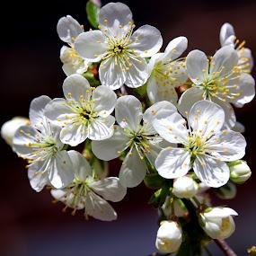 by Carmen Baltianu - Flowers Tree Blossoms