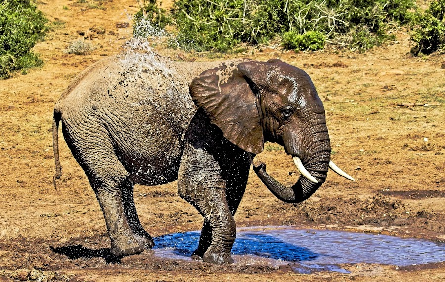 It's Hot by Anne-Marie  Fuller  - Animals Other Mammals ( nature, nature up close, nature and wildlife, elephant, water, nature photography, wildlife,  )