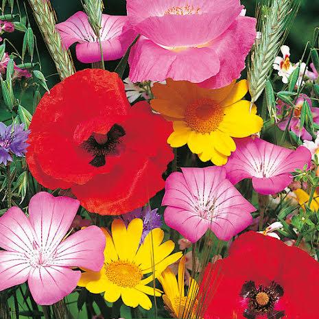 Frö till blomstermix för humlor och fjärilar, ekologisk
