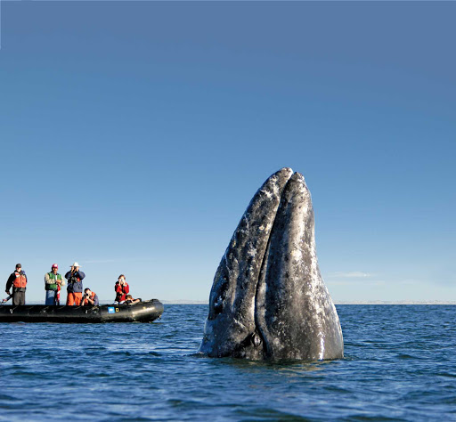 Gray-Whale-Spy-Hopping.jpg - A gray whale spy-hopping near whale watchers in the town of Puerto Lopez Mateos, Mexico, during a Lindblad Expeditions tour.