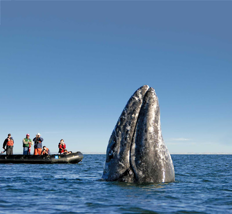 A gray whale spy-hopping near whale watchers in the town of Puerto Lopez Mateos, Mexico, during a Lindblad Expeditions tour.