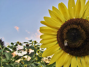 Photo: Bright sunflower in a colorful sunset at Cox Arboretum and Gardens of Five Rivers Metroparks in Dayton, Ohio.