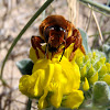 Bee. Abeja solitaria