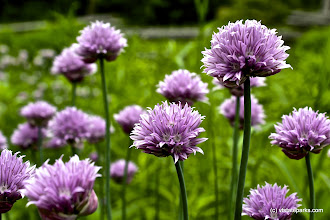 Photo: Beautiful purple flowers at Grand Isle State Park by Kristen Jensen