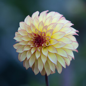 Dahlia with pretty edge by Janet Marsh - Flowers Single Flower ( dalhia, yellow, rose edge,  )