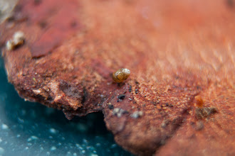 Photo: Another micro-snail, on the edge of this wood chip.  Miray found both of these specimens... good eye!