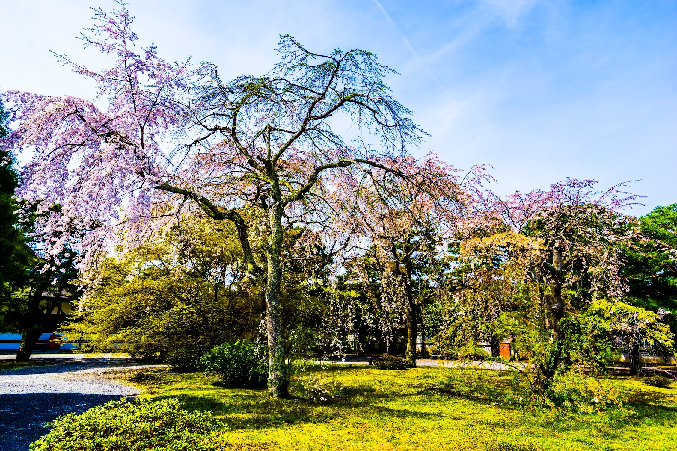Kyoto Imperial Palace Cherry blossoms