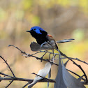 Purple-backed Fairy-wren (male)