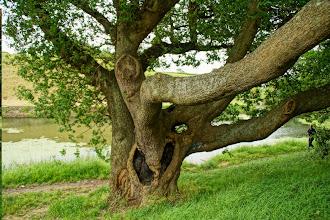 Photo: Ye Old Oak Tree