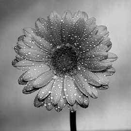 Gerbora n00100 by Gérard CHATENET - Black & White Flowers & Plants