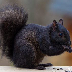 Lovely Black Squirrel by Maureen McDonald - Animals Other Mammals ( nature, elsmere kentucky, winter 2016, backyard deck, black squirrel, northern kentucky,  )