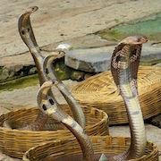 Сонник кобра