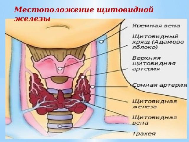 щитовидная железа, её строение и функции
