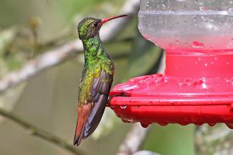 Photo: Rufous-tailed Hummingbird