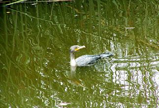 Photo: Double Crested Cormorant Roaring Camp, Felton, CA