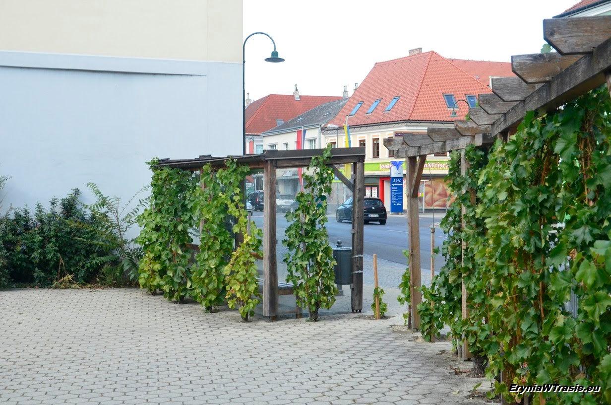 winorośl miejska
